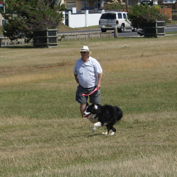 Border Collie Maddie ball chasing