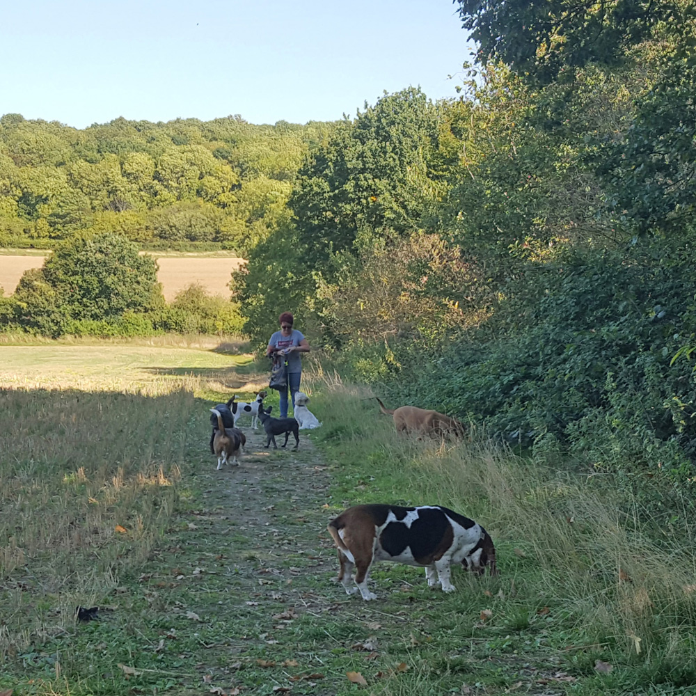 Packleaders dog walking Stevenage