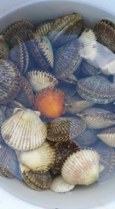scallop bucket july