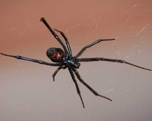 Pest Control Company in Lincoln Ca. Spiders