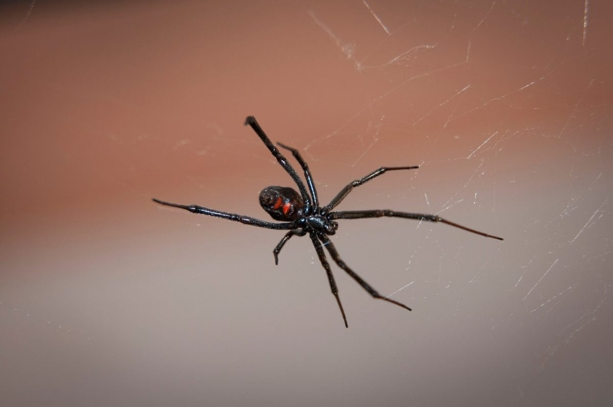 Common Types of Spiders in Sacramento, CA   Spider Control