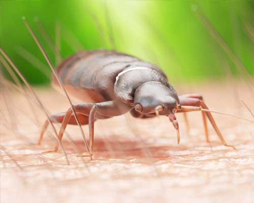 Bed Bugs - Pegasus Pest Control