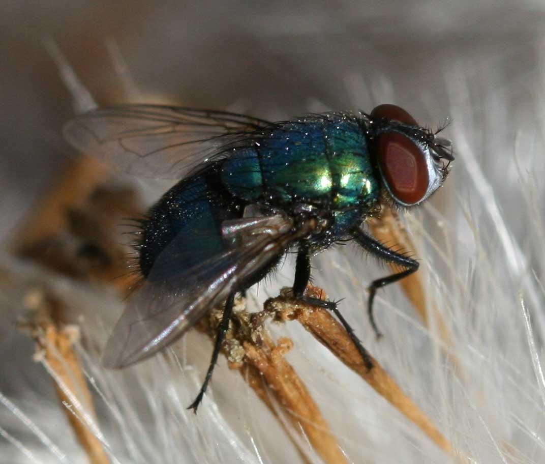 Difference Between Gnats & Fruit Flies