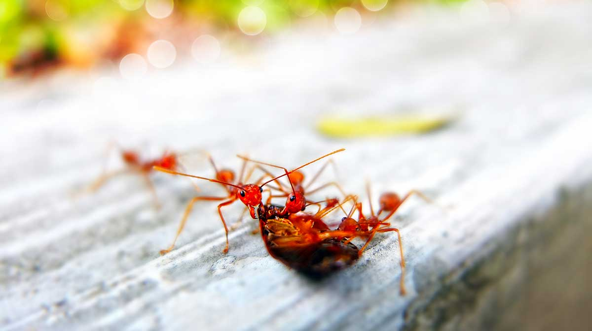 Different Types Of Ants In Sacramento | Ant Control Service