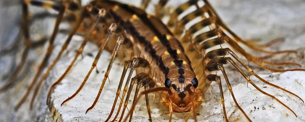 House Centipede Facts, Bite, Behavior