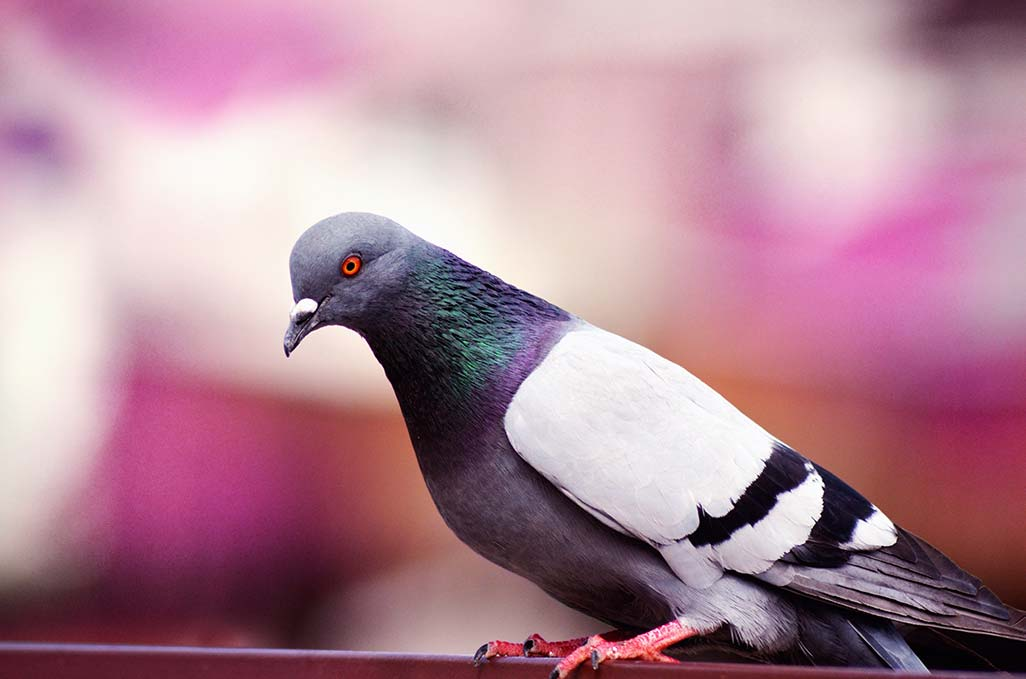 Pigeons. Find out why Pegasus Pest Control is recognized as the Best Pigeon Exclusion Experts in Sacramento and Northern California