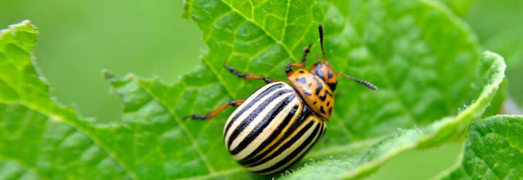 How To Get Rid Of Potato Beetles