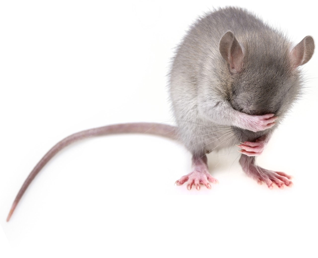 The 4 Similarities Between Rats & Teenagers | Residential Rat Exterminator