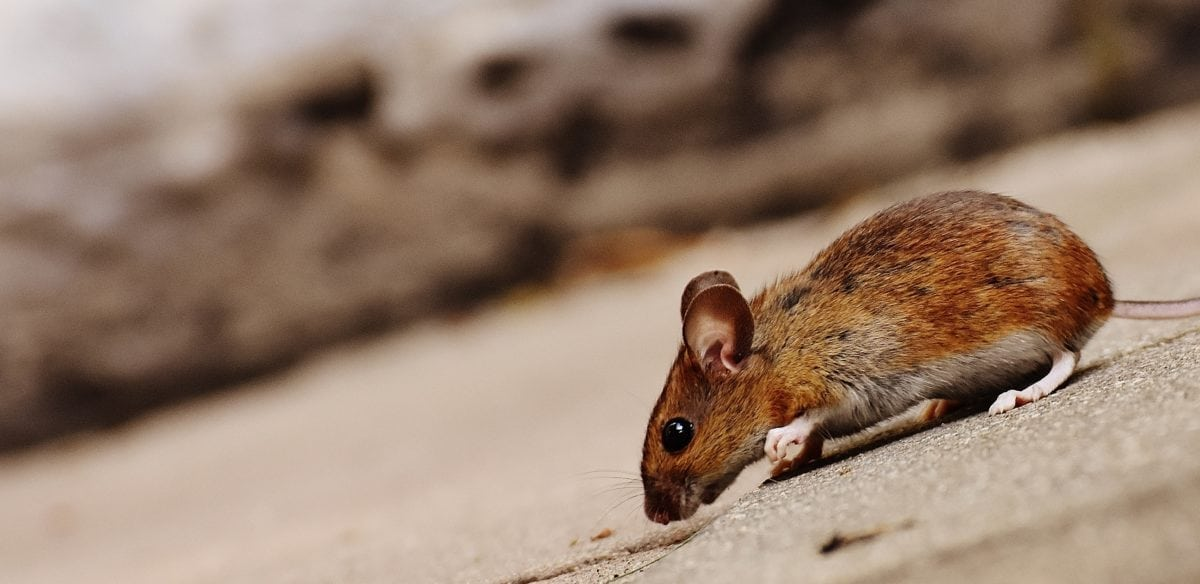 Rodent Removal in Sacramento, CA