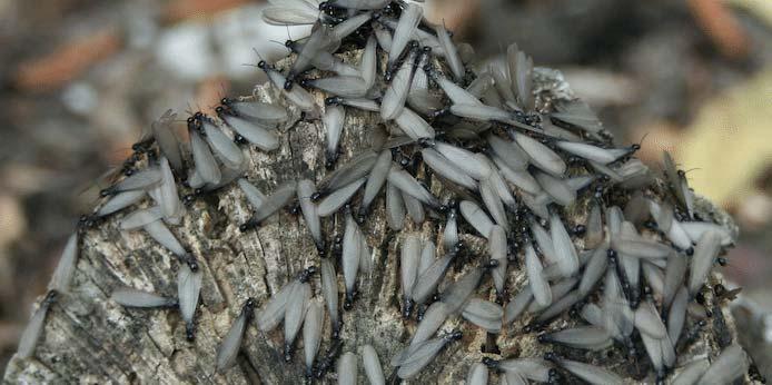 Residential Pest Control - Swarming Termites
