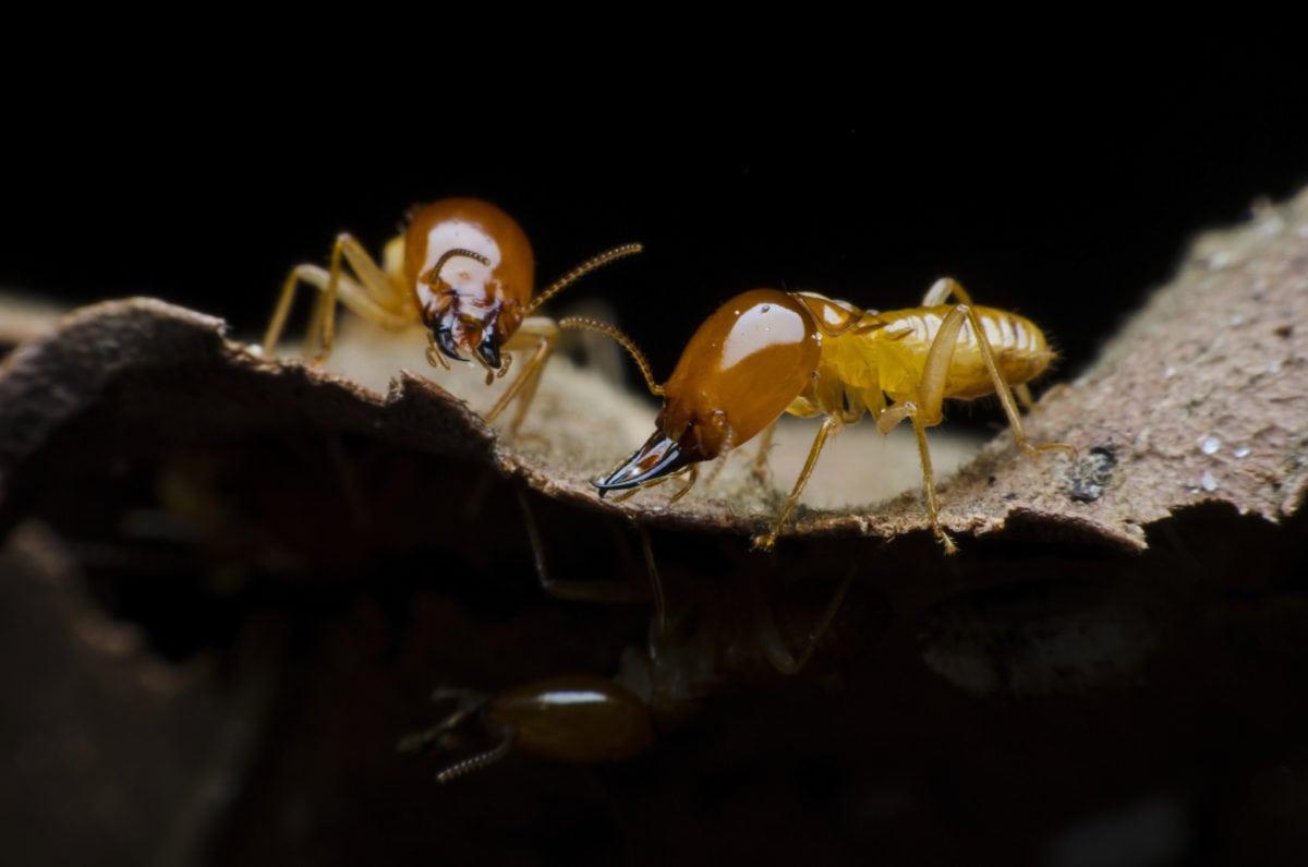 Termites Control Services by Pegasus Pest Control