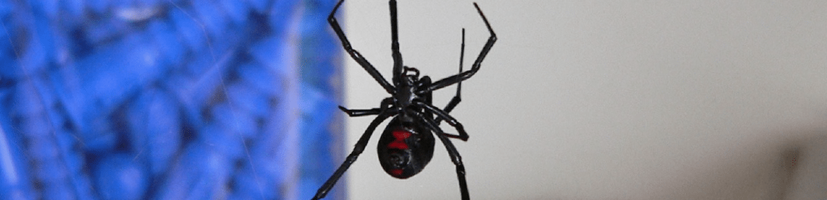 What is the Most Dangerous Spider in Sacramento, CA   The Black Widow Spider