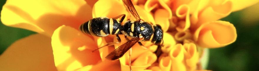 How To Kill Yellow Jackets In West Sacramento, CA | Wasp Exterminator