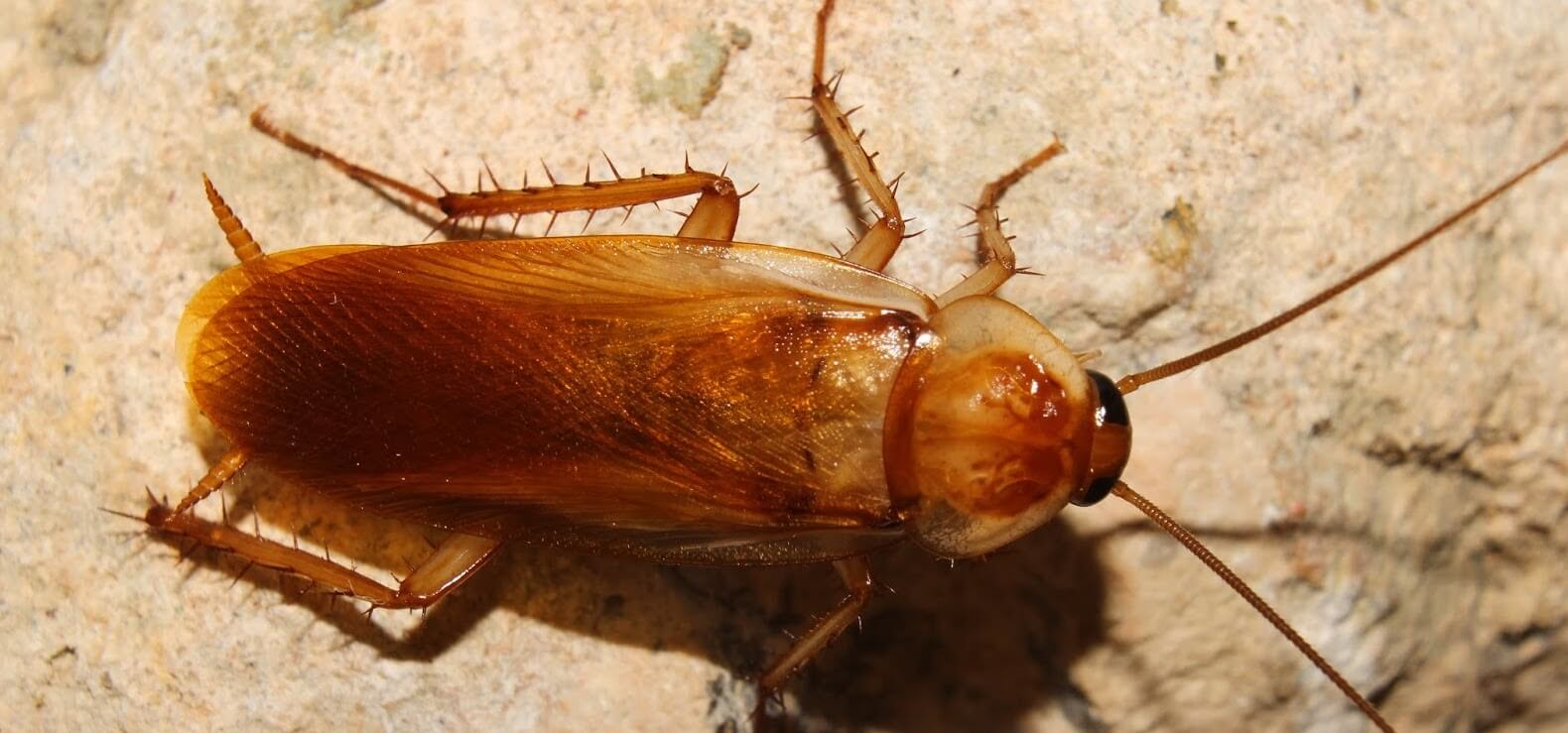 The Turkestan Cockroach, What You Need To Know