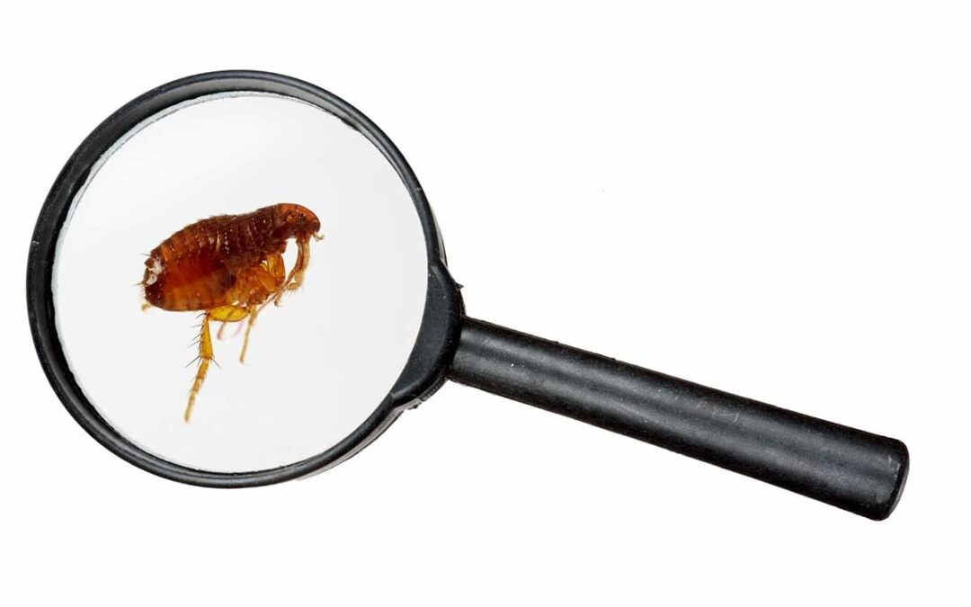 6 Telltale Signs of a Flea Infestation (and What to Do Next)
