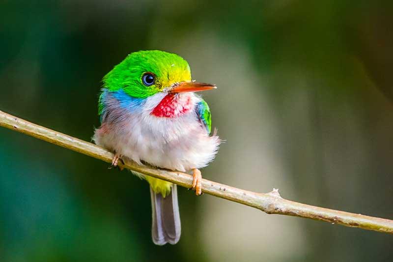 cuban bird