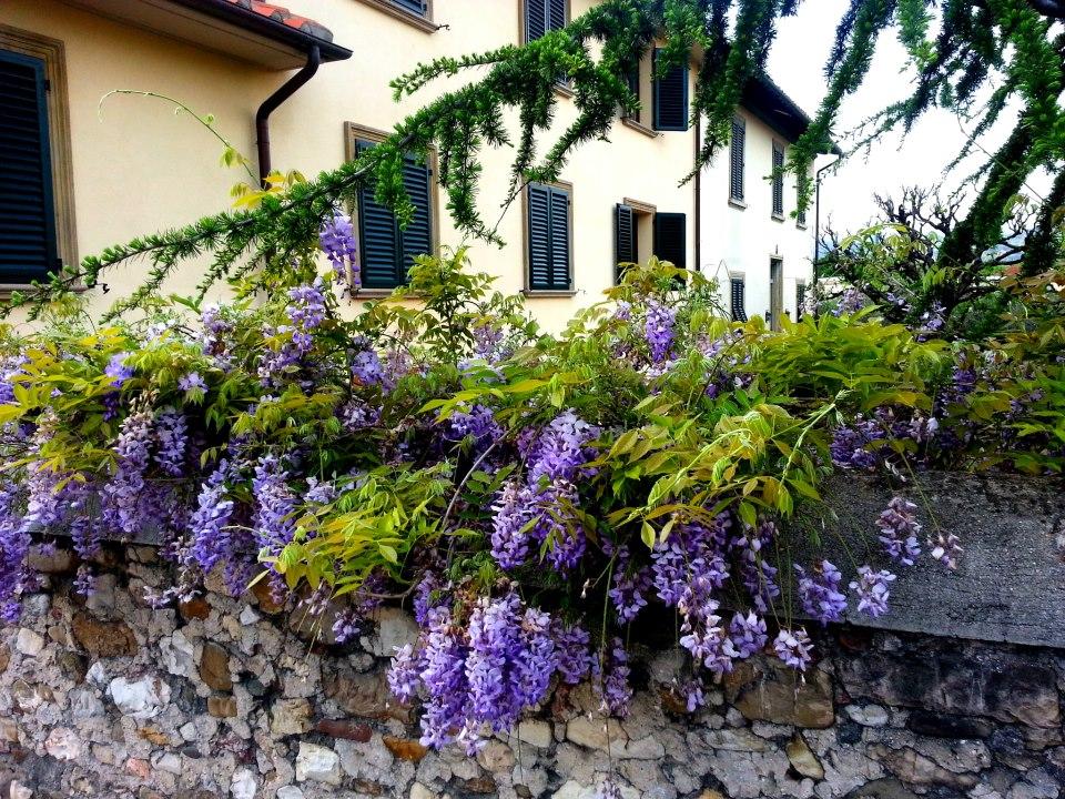 wisteria firenaz