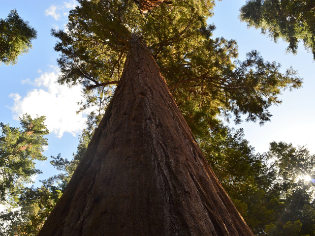 Sequoia Tree Guardian