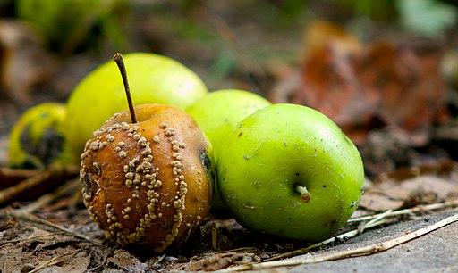 Disfigured apples