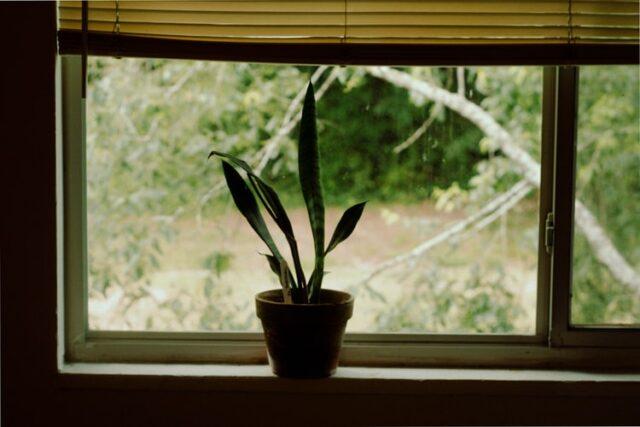 Snake plant in window