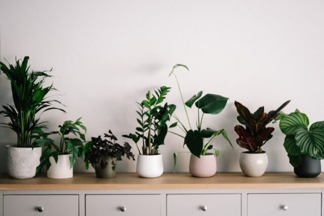 Row of houseplants on dresser