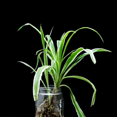 Green plant propagating in a jar with roots
