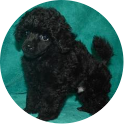 Pups Love Standard Toy Panoply Poodles