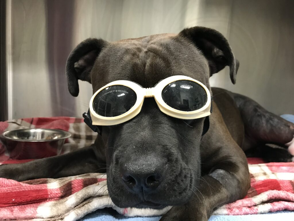 Bella receiving a laser therapy session after orthopedic surgery.