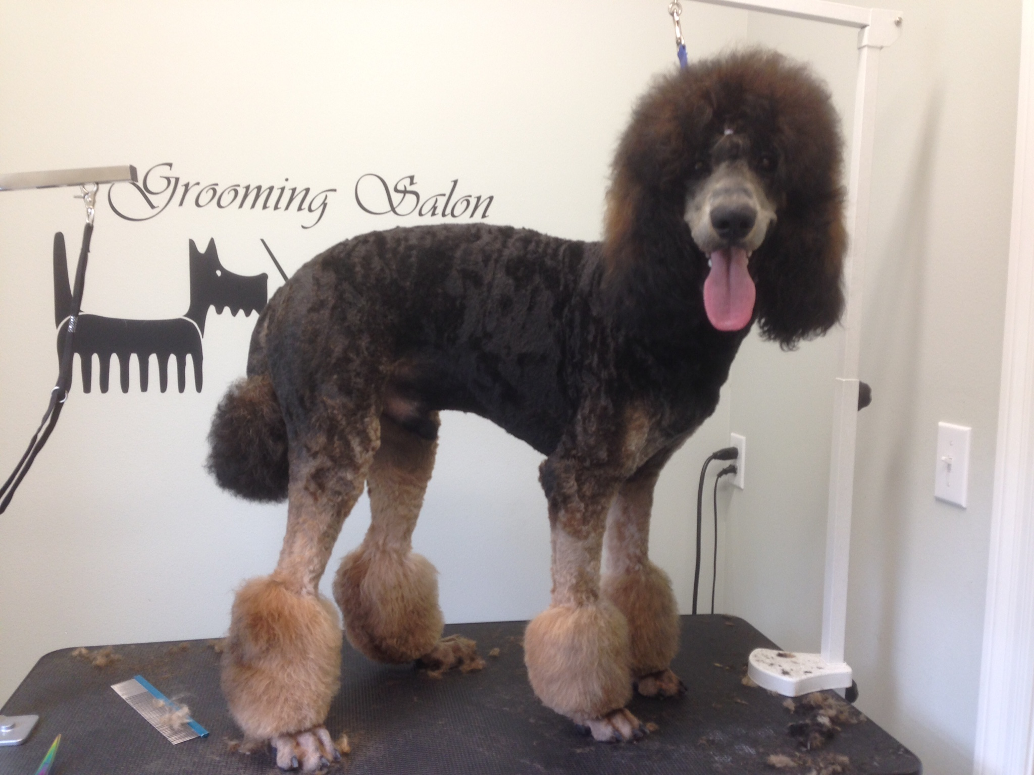 Standard poodle on the grooming table