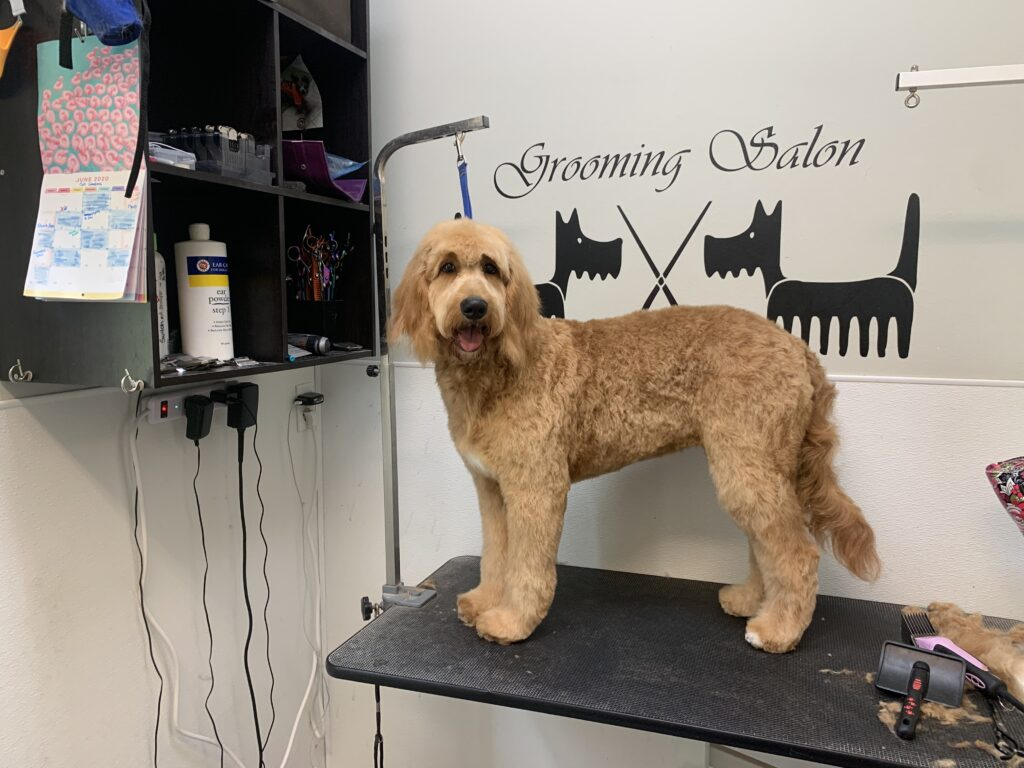 Doodle after grooming