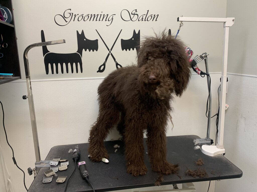 poodle before grooming