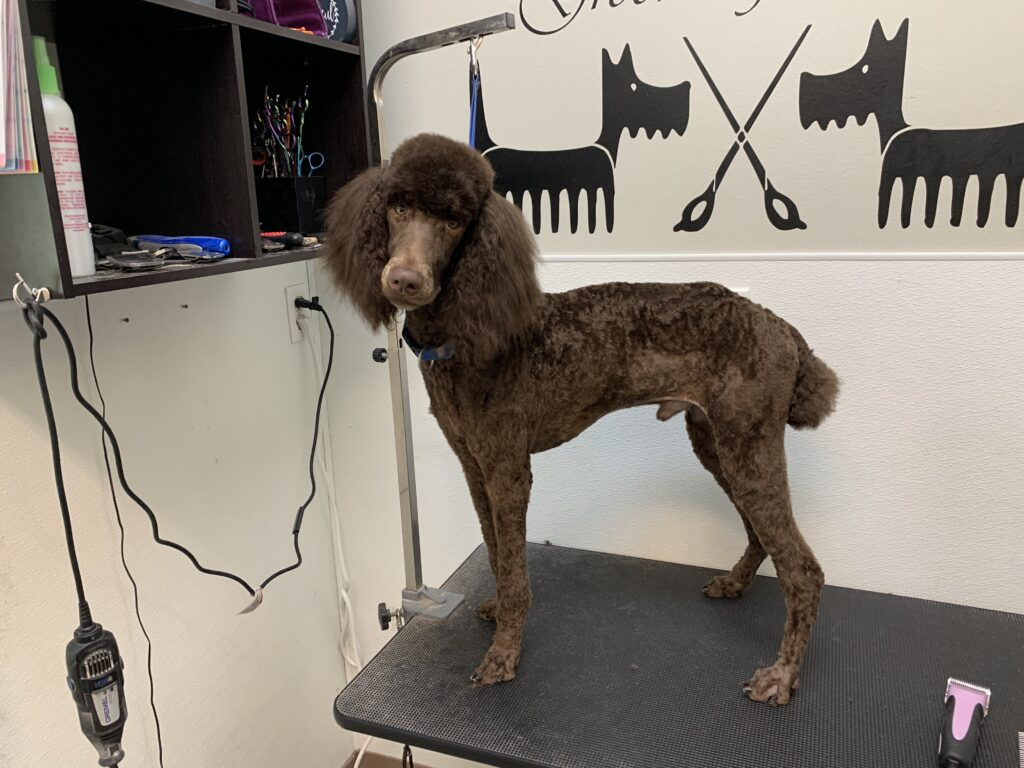 poodle after grooming