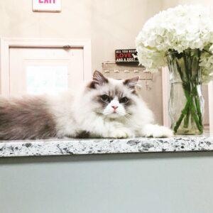 Caesar the clinic cat at Three Rivers Animal Hospital