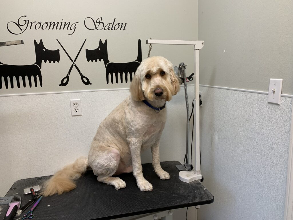 Doodle after grooming with Katie