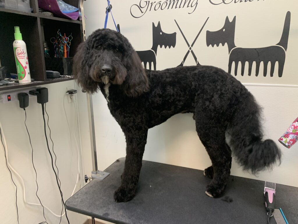 After Grooming Doodle