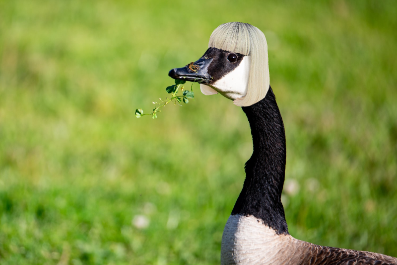 After A Contentious Race, America Crowns Its Loudest Gay: This Goose In A Tiny Wig