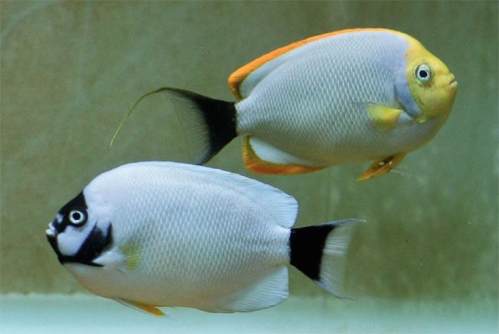 Masked Angelfish