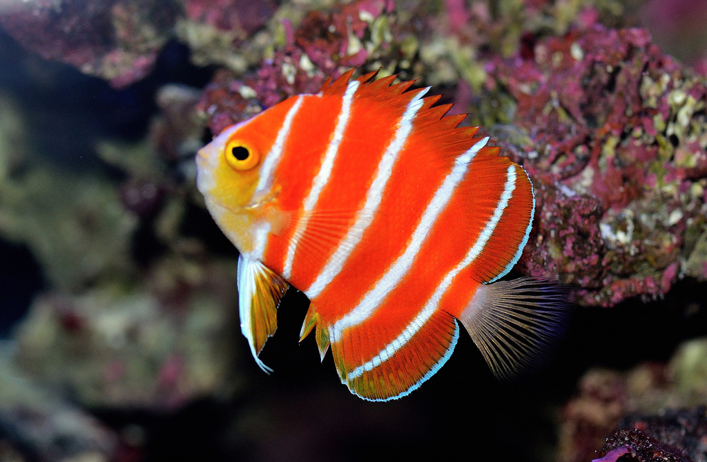 Peppermint Angelfish