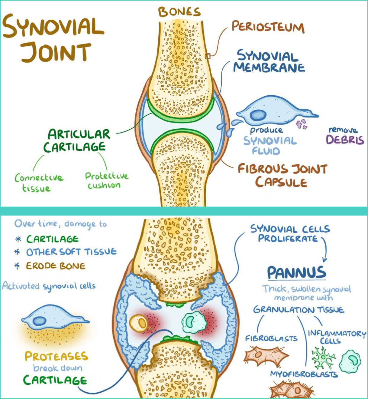 Joint synovial