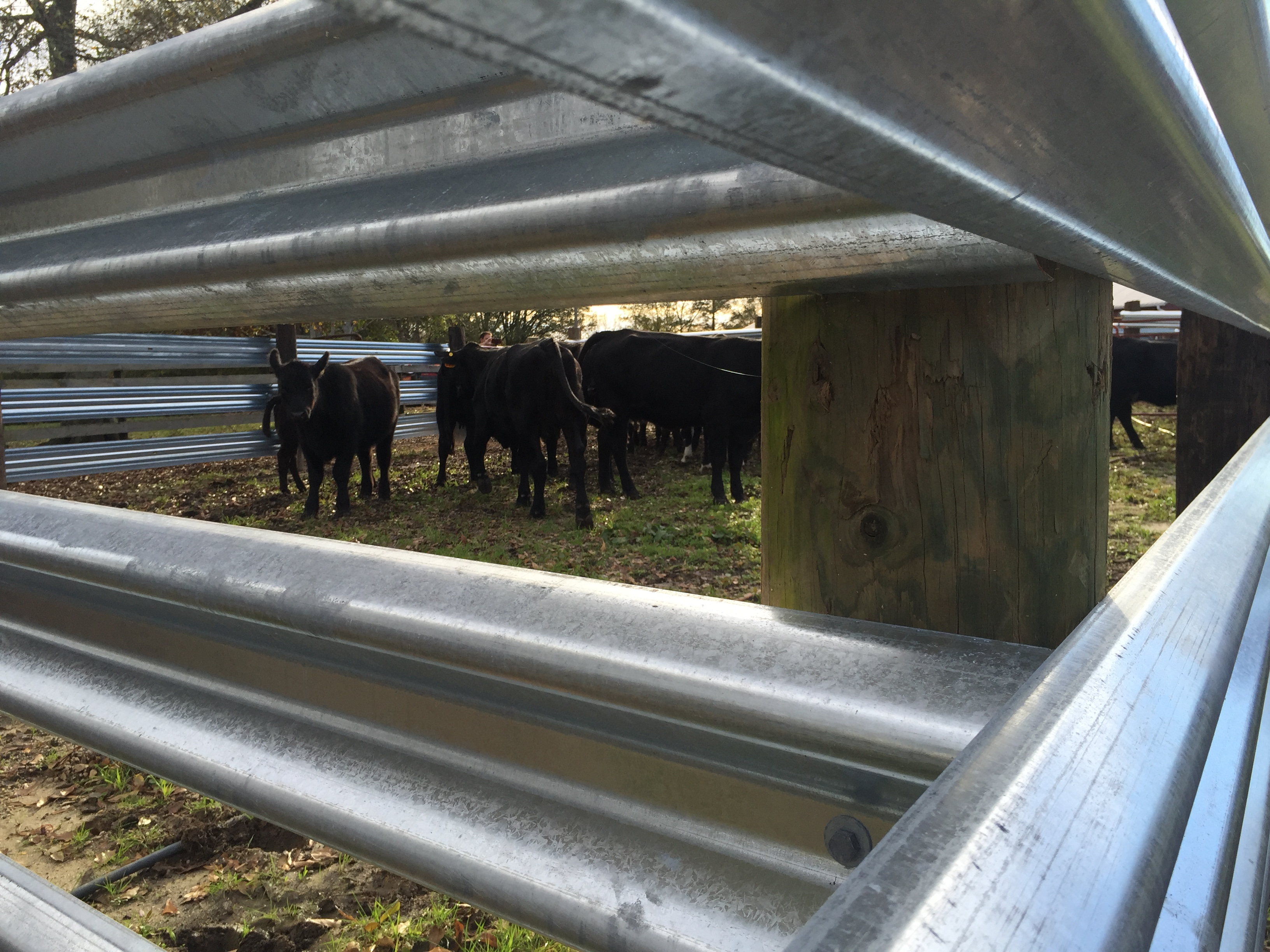 Cows in a corral built out of LiveStock Steel