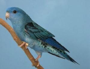D Turquoise (Parblue Cobalt)