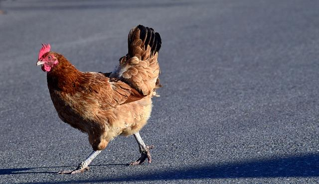 chicken, road, why did the chicken cross the road