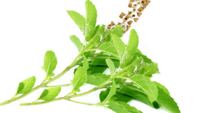 Importance of Tulsi Leaves