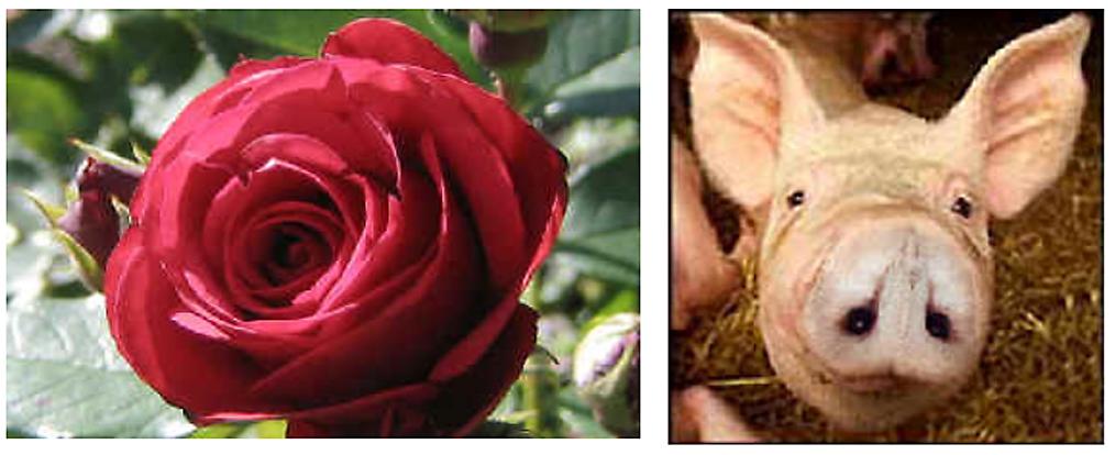 rose pig