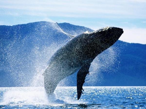 Las ballenas jorobadas esperan restarle apoyo internaciona a Israel con este gesto.