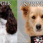 Caso Springer no para. Vendían cachorros criollos  haciéndolos pasar por «Springer Spaniel»
