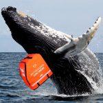 Ballenas desplazadas por Puerto Tribugá serán bienvenidas en Rappi