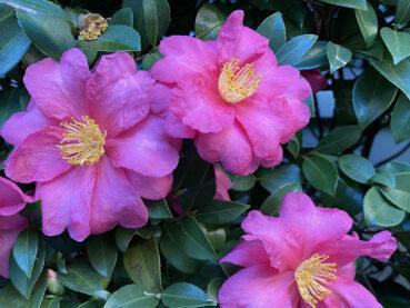 Japanese Camellia 120 Jigsaw Puzzle