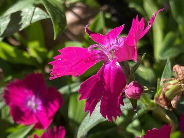 Bearded Pink Dianthus 120 Jigsaw