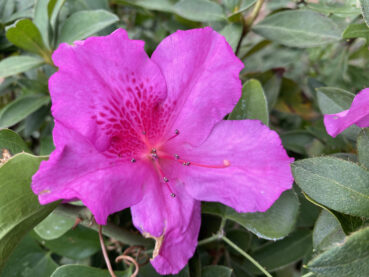 Purple Evergreen Azalea 120 Jigsaw